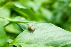 Potato bug. On a leaf Stock Photos