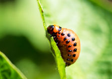 Potato bug on leaf Stock Photos