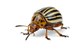 Potato bug (leptinotarsa decemlineata) Stock Photo