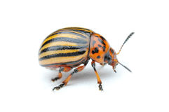 Potato bug. Little striped potato bug stock images