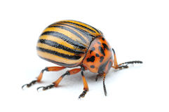 Potato bug Stock Photos