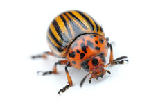 Potato bug Royalty Free Stock Photo