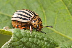 Potato bug o. N green sheet royalty free stock image