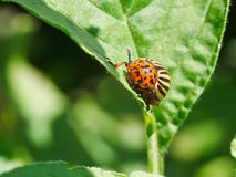 Potato bug in potatoes leaves. In garden stock photo