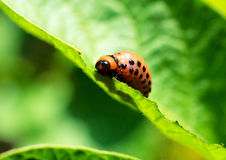 Potato bug. Selective focus in the middle potato beetles royalty free stock photography