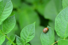Potato bug sitting on a potato leaf.  royalty free stock photography