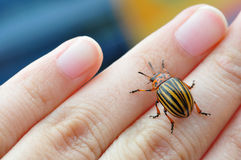 Potato bug. Striped potato bug on the hand stock images