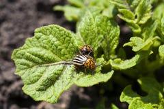 Potato bugs on leaves Stock Photography
