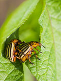 Potato bugs mating Stock Photo