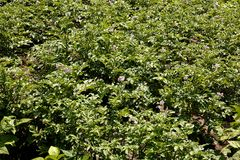 Potato bush blooming with flowers Stock Image