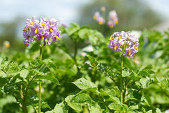 Potato bush blooming Royalty Free Stock Image