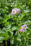 Potato bush blooming with violet flowers Royalty Free Stock Photography