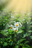 Potato bush blooming with white flower. The potato bush blooming with white flower Royalty Free Stock Images