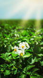 Potato bush blooming with white flower Stock Images