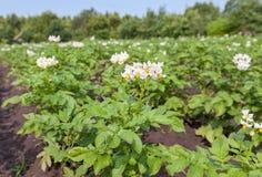 The potato bush Stock Photos