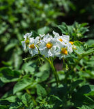 Potato bush blooming with white flower Royalty Free Stock Images