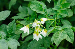 Potato bush blooming Royalty Free Stock Photo
