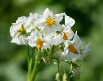 Potato bush blooming with white flowers Stock Images