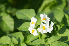 Potato bush blooming with white flowers Royalty Free Stock Images