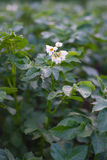 Potato bush blooming with white flowers on the garden bed Stock Images