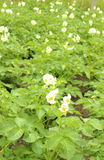 Potato bush blooming with white flowers Stock Image