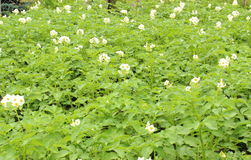 Potato bush blooming with white flowers Stock Photos