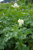 Potato bush with flowers Stock Image