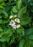Potato bush with green leaves and blooming white flowers. stock photos