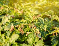 Potato bushes affected by Phytophthora Phytophthora Infestans In the field. Growing vegetables. Crop failure. Dry leaves of royalty free stock photo