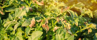 Potato bushes affected by Phytophthora Phytophthora Infestans In the field. Growing vegetables. Crop failure. Dry leaves of. Potatoes with diseases. Soft royalty free stock photos