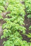 Potato bushes. Stock Images