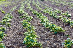 Potato bushes on the garden in the village. 2018 Stock Images
