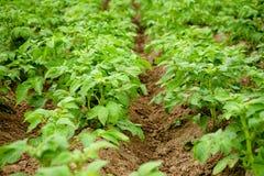 Potato bushes in the ground. stock photo