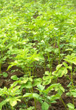 Potato bushes grows in garden close up Stock Photos