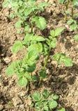 Potato bushes grows in garden closeup Stock Photography