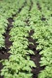Potato bushes Stock Photos