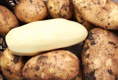 Potato. Clean peeled potato among harvested fresh brown potatos with mud stock photography