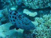 Potato Cod And Corals Stock Photo