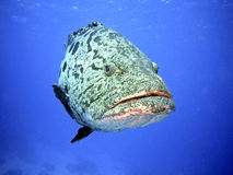 Potato Cod Royalty Free Stock Images