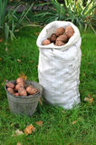 Potato crop Royalty Free Stock Photos