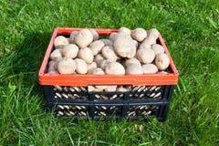 Potato crop Stock Photography