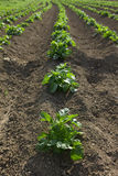 Potato crop Stock Photography