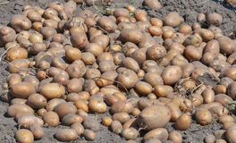 Potato crop background in the garden Stock Images