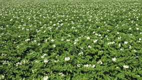 Potato crop in bloom stock video