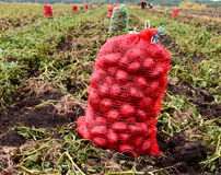 Potato Crop. Potato field on harvest time Stock Photo