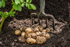 Potato Crop. Freshly dug potato crop dug from the soil Stock Images