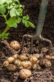Potato Crop. Freshly dug potatoes from the garden Stock Image