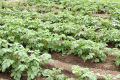 Potato crop Stock Photo