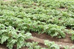 Potato crop. In a garden Stock Photo