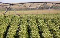 Potato Crop Row Royalty Free Stock Photos